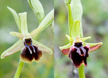 Ophrys alasiatica, Ophrys mammosa