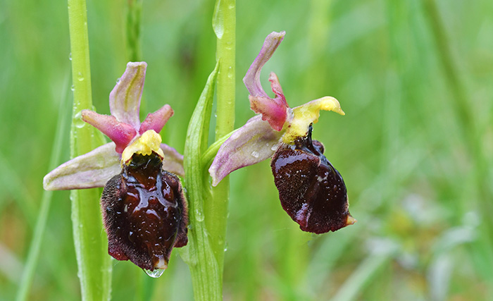 Ophrys holoserica x sphegodes