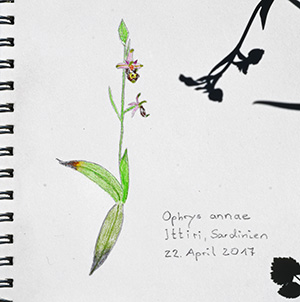 ophrys annae sketch
